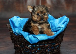 Teacup Yorkie For Sale These Pint Sized Pups Pack In The Love
