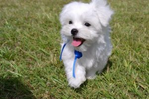 Maltese Puppies for Sale, These Precious Puppies Are Waiting For You!