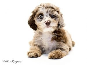cockapoo-shihpoo-breeders-maryland-cum-to-quick