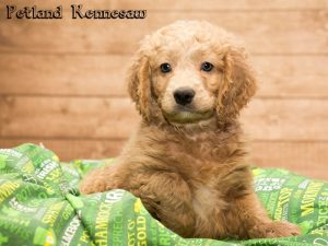 Miniature Goldendoodle Puppies For Sale Your New Best Friend Is